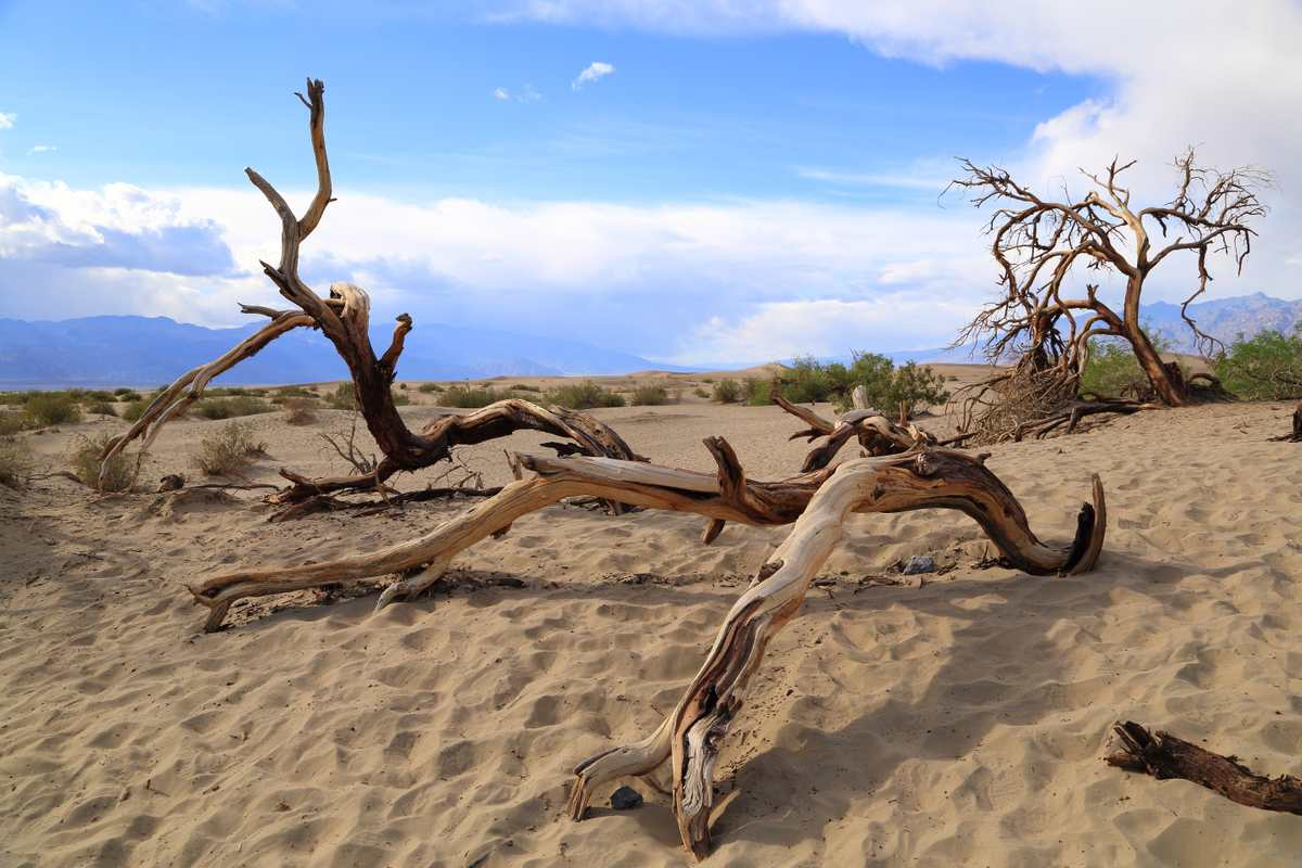 Dried up tree branches at Mesquite Sand Dunes