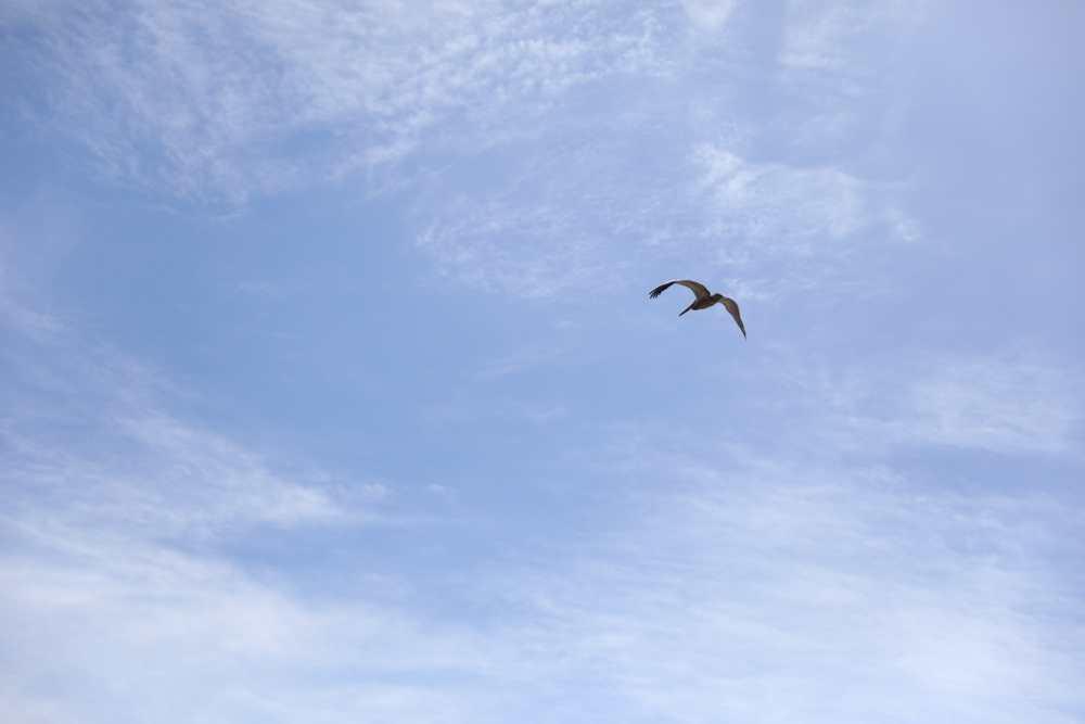 Ventura Beach pelican