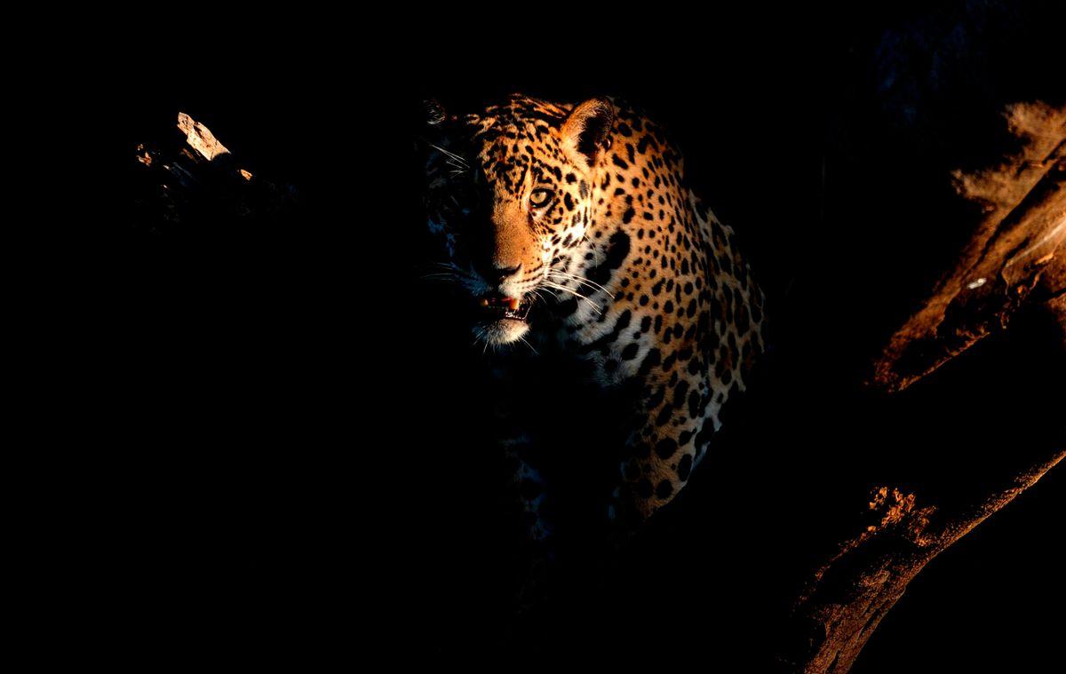 jaguars03.JPG