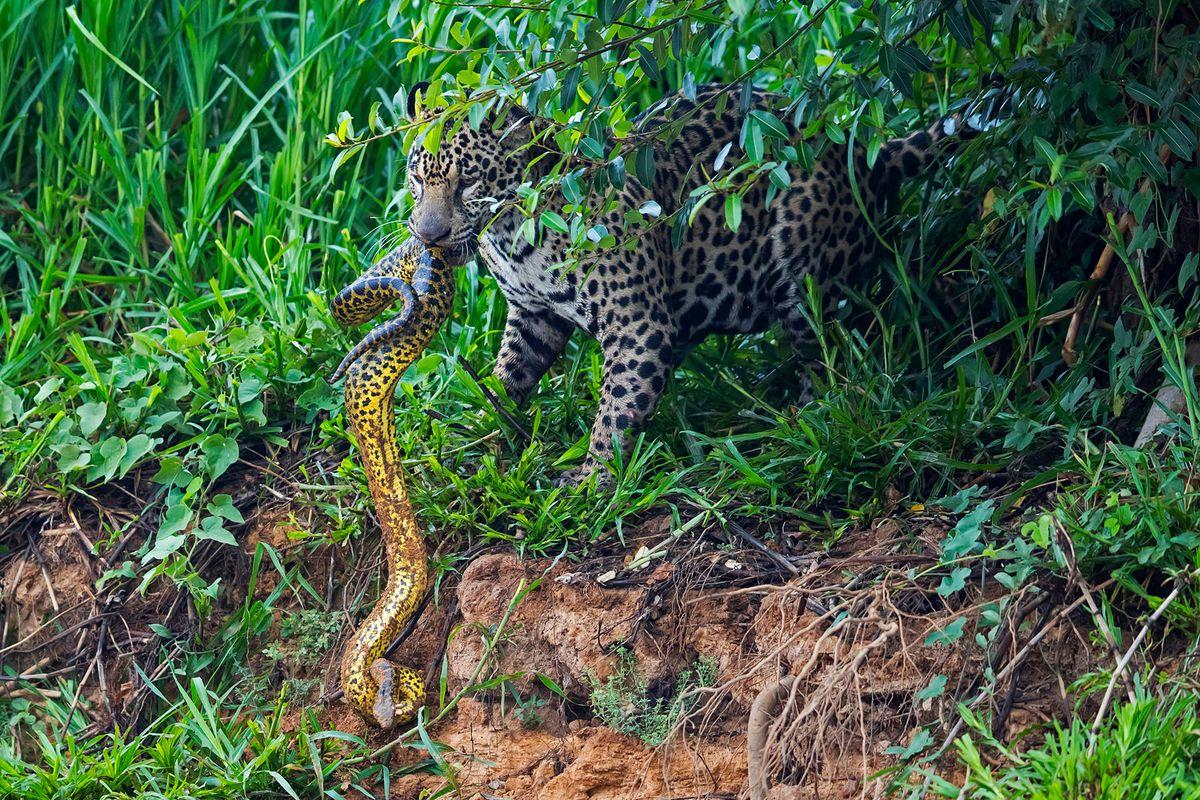 jaguars19.JPG
