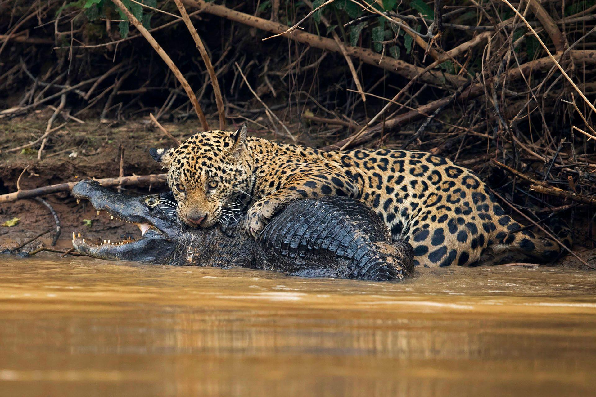 jaguarcaiman01.JPG