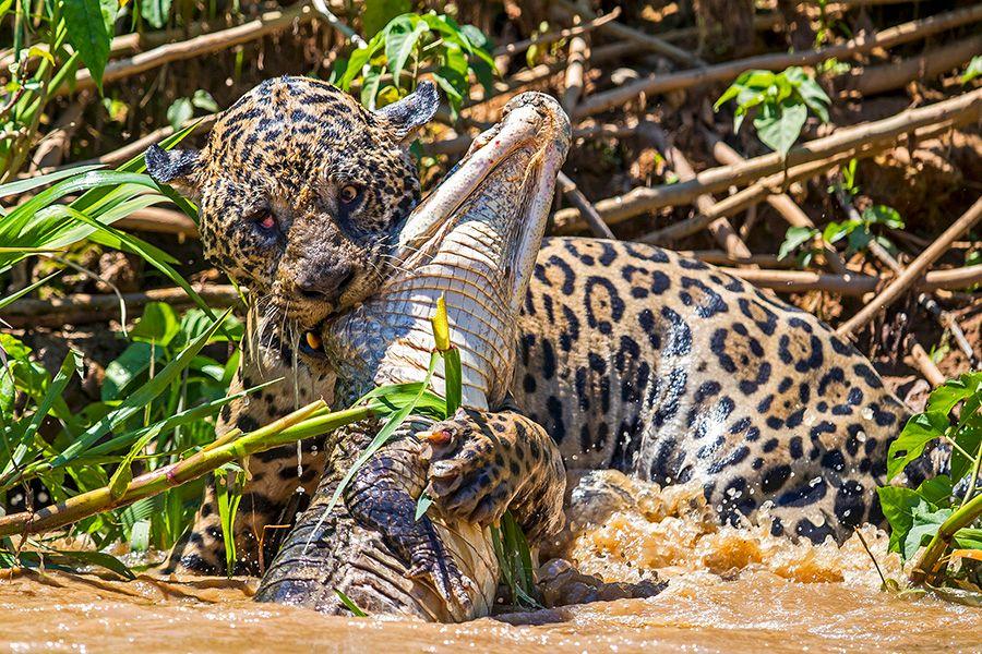 jaguars17.JPG