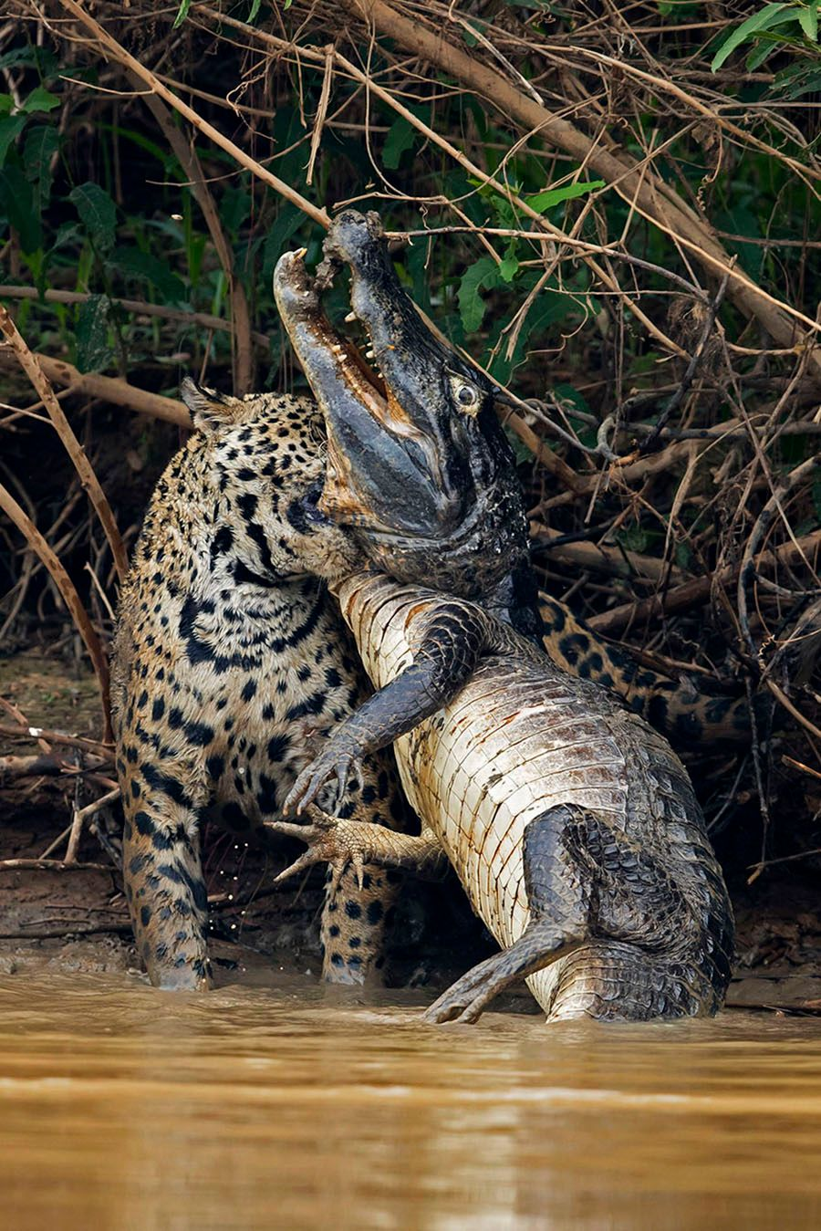 jaguarsfrontpage03.JPG