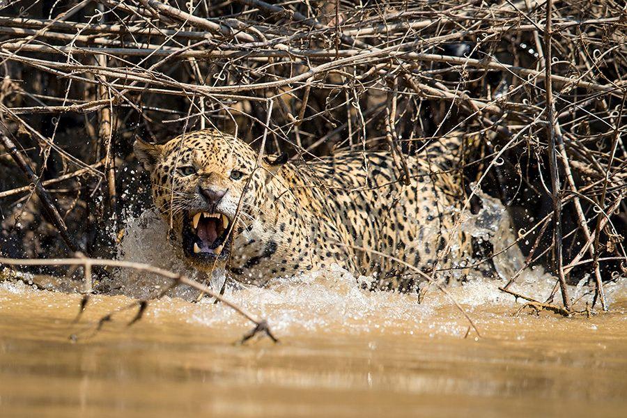 jaguars37.JPG
