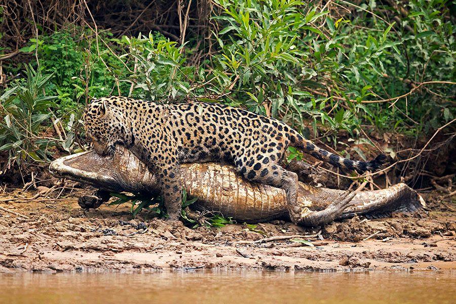 jaguarsfrontpage05.JPG