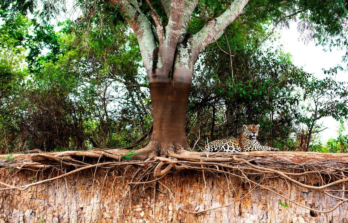 jaguars01.JPG
