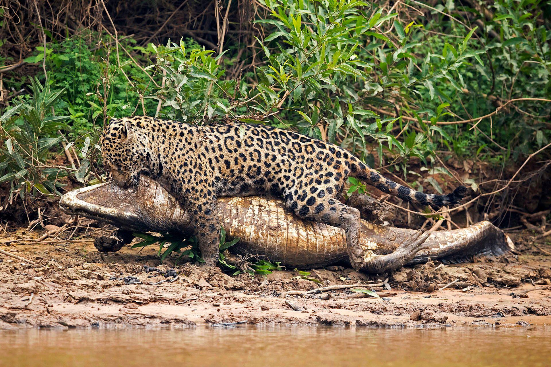 jaguarcaiman05.JPG