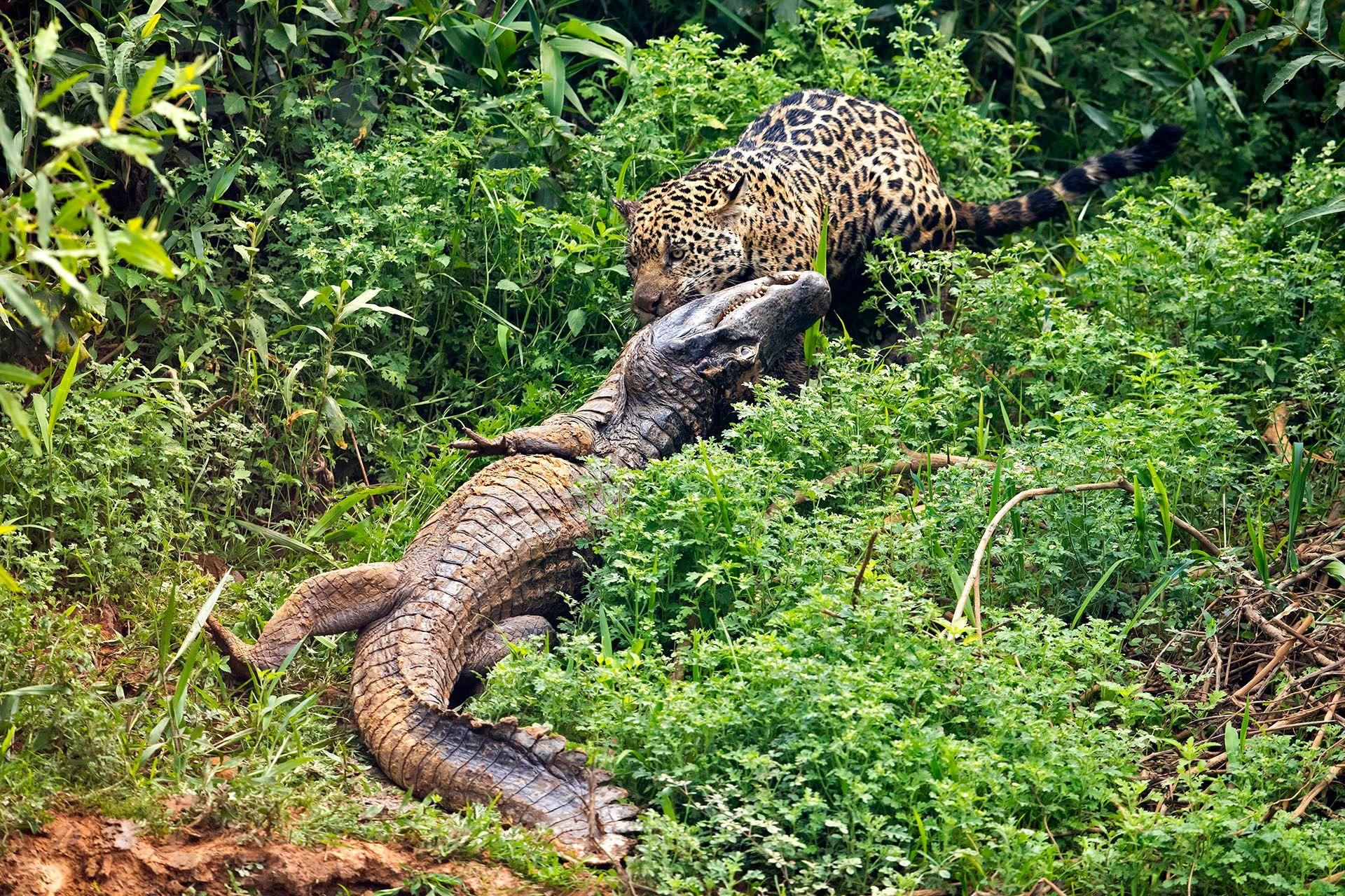 jaguarcaiman08.JPG
