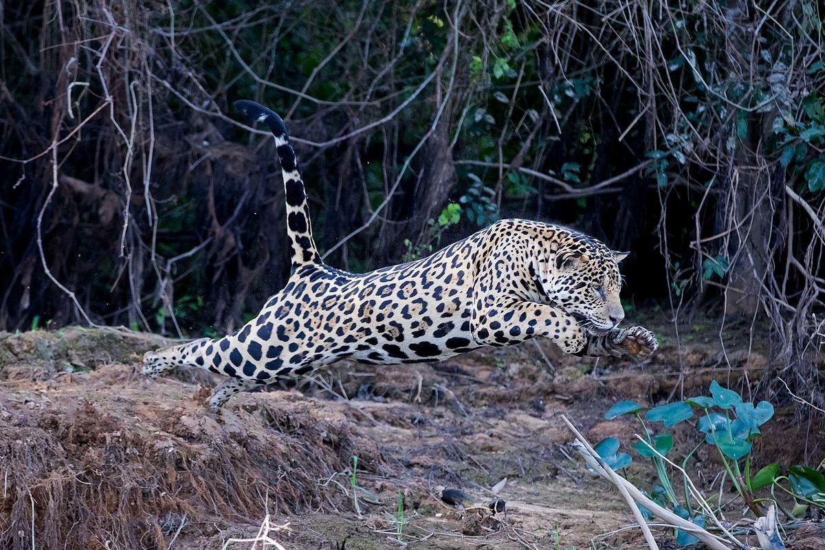 jaguars12.JPG
