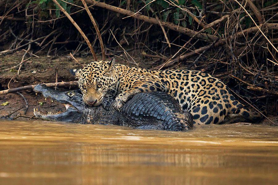 jaguarsfrontpage01.JPG