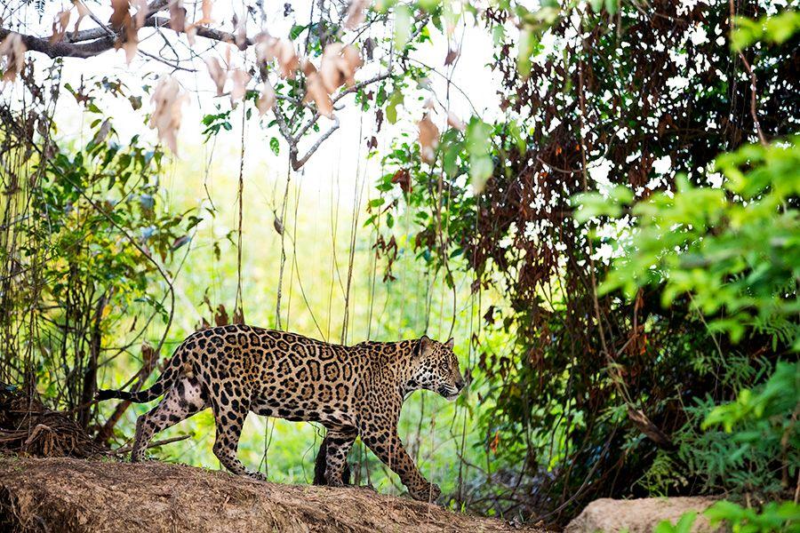 jaguars32.JPG