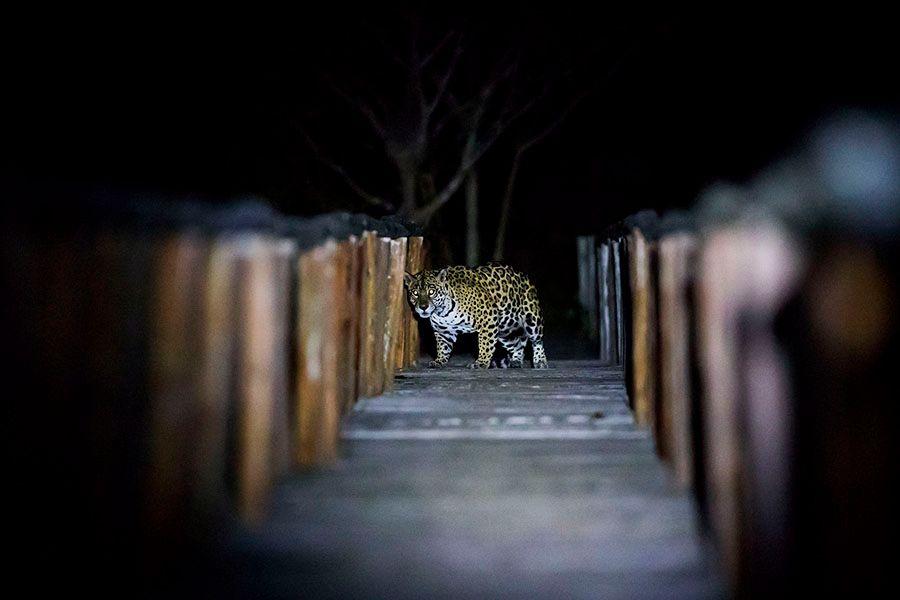jaguars06.JPG
