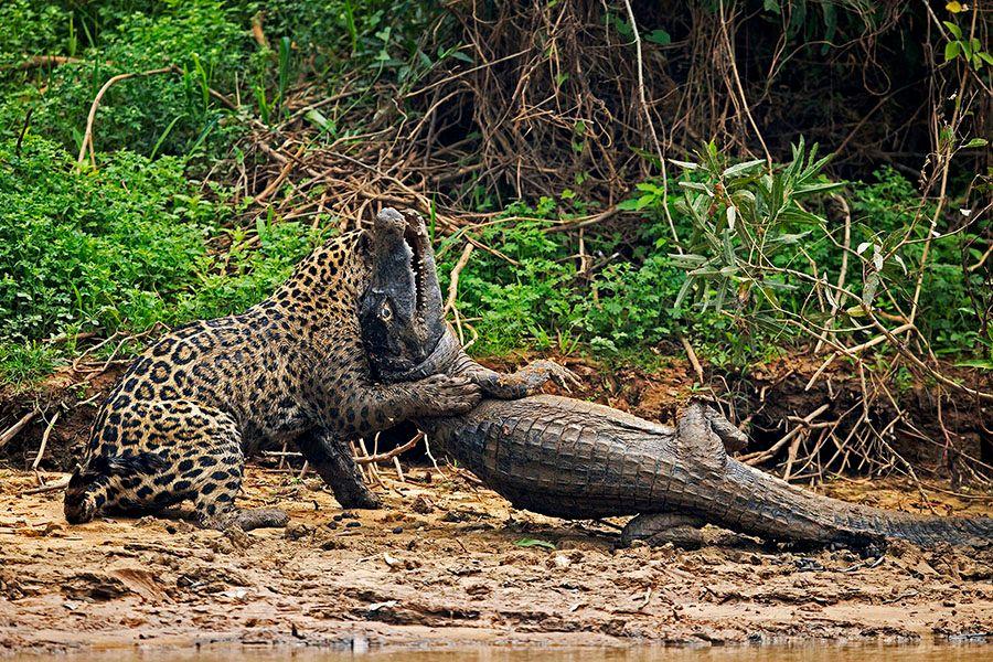 jaguarsfrontpage06.JPG