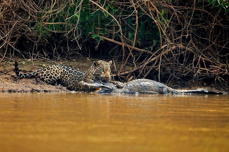 jaguarsfrontpage04.JPG