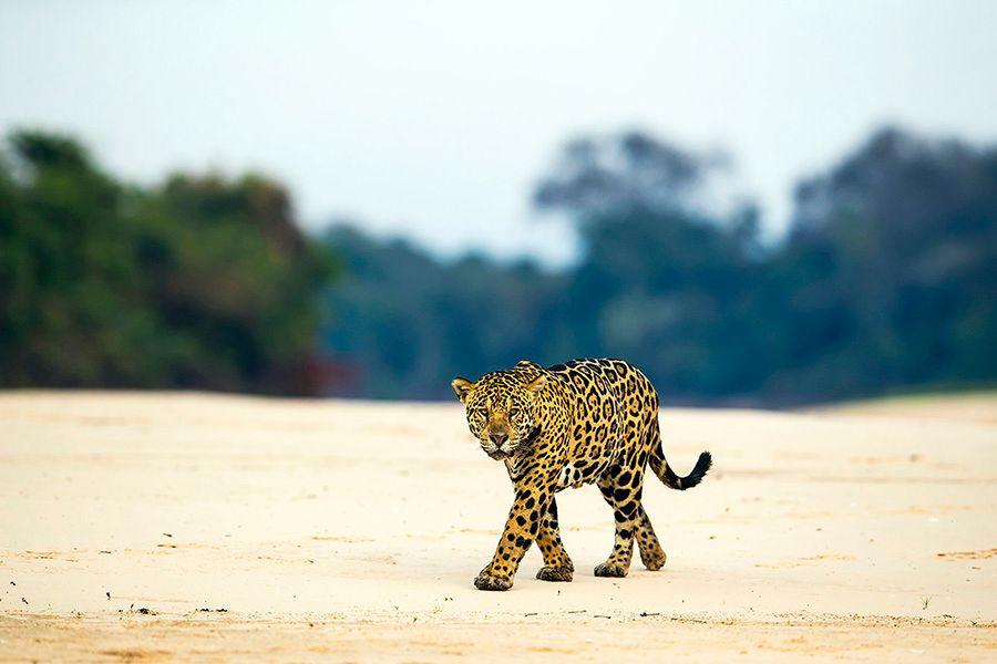 jaguars18.JPG