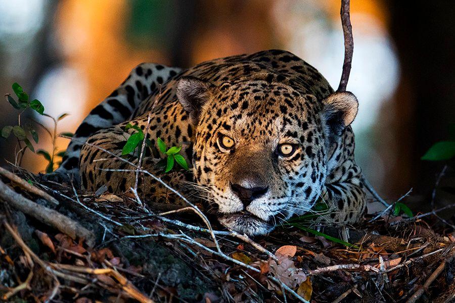 jaguars34.JPG