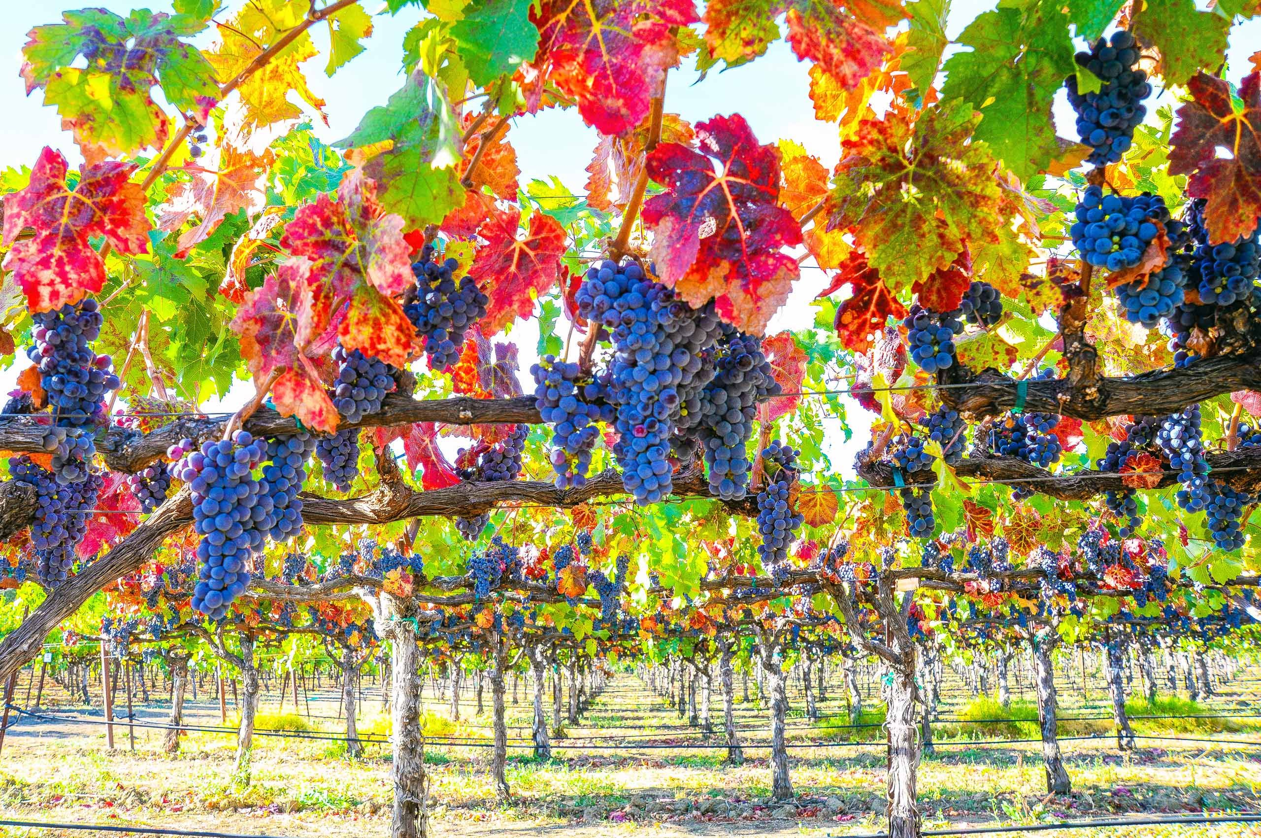 Grapes on Vines_Napa Valley