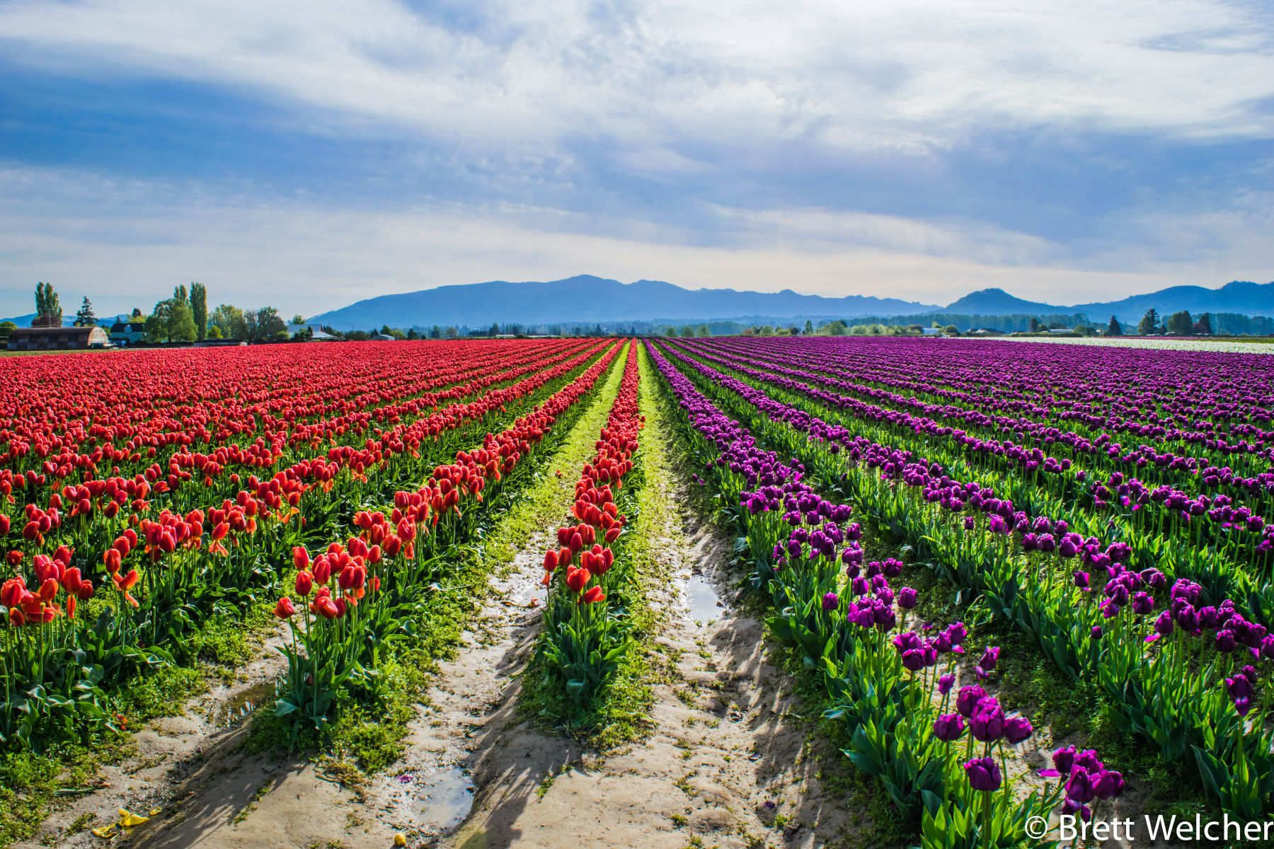 The Skagit Valley Tulip Festival is one of the destination events for the Pacific Northwest, held from April 1-30. Every year, hundreds of thousands of people come to enjoy the celebration of spring as millions of tulips burst into bloom. As with all thing