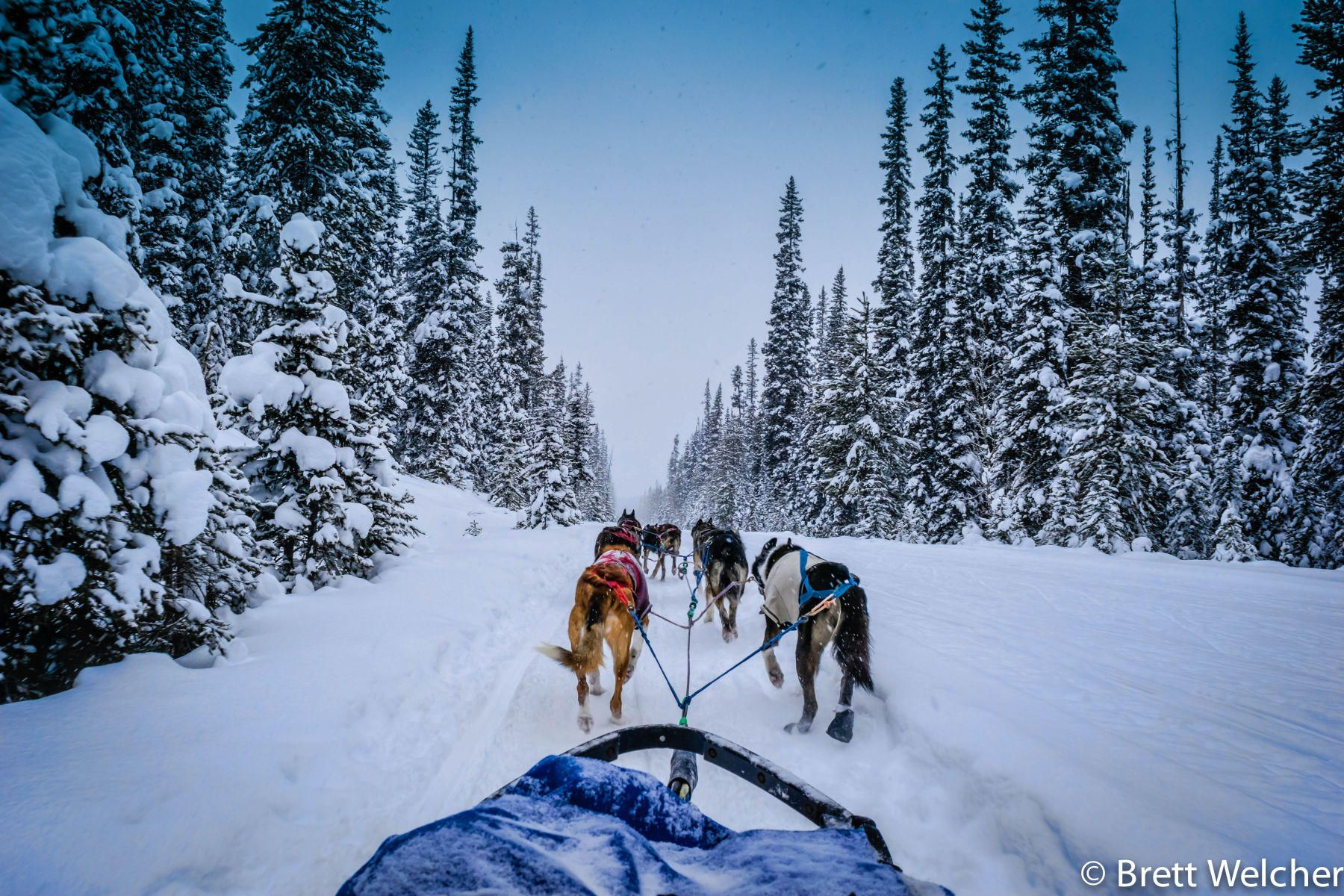 The only dogsledding tour operator in Banff National Park. For a treasured lifetime memory, come mushing with Kingmik Dog Sled Tours' happy and hard working Alaskan Huskies.