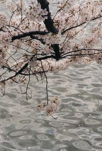 Cherry Blossoms, 2004