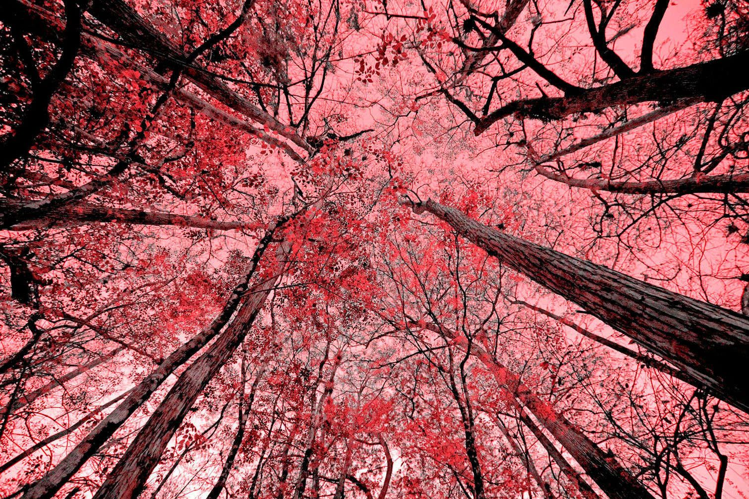 "Trees Meet Sky in Red 42""x78"""