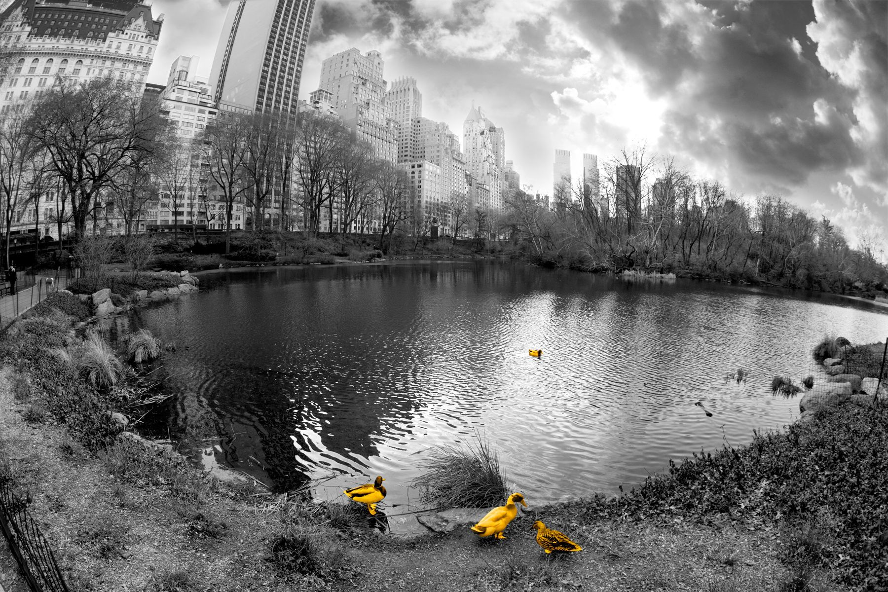 Central Park Pond with Gold Ducks