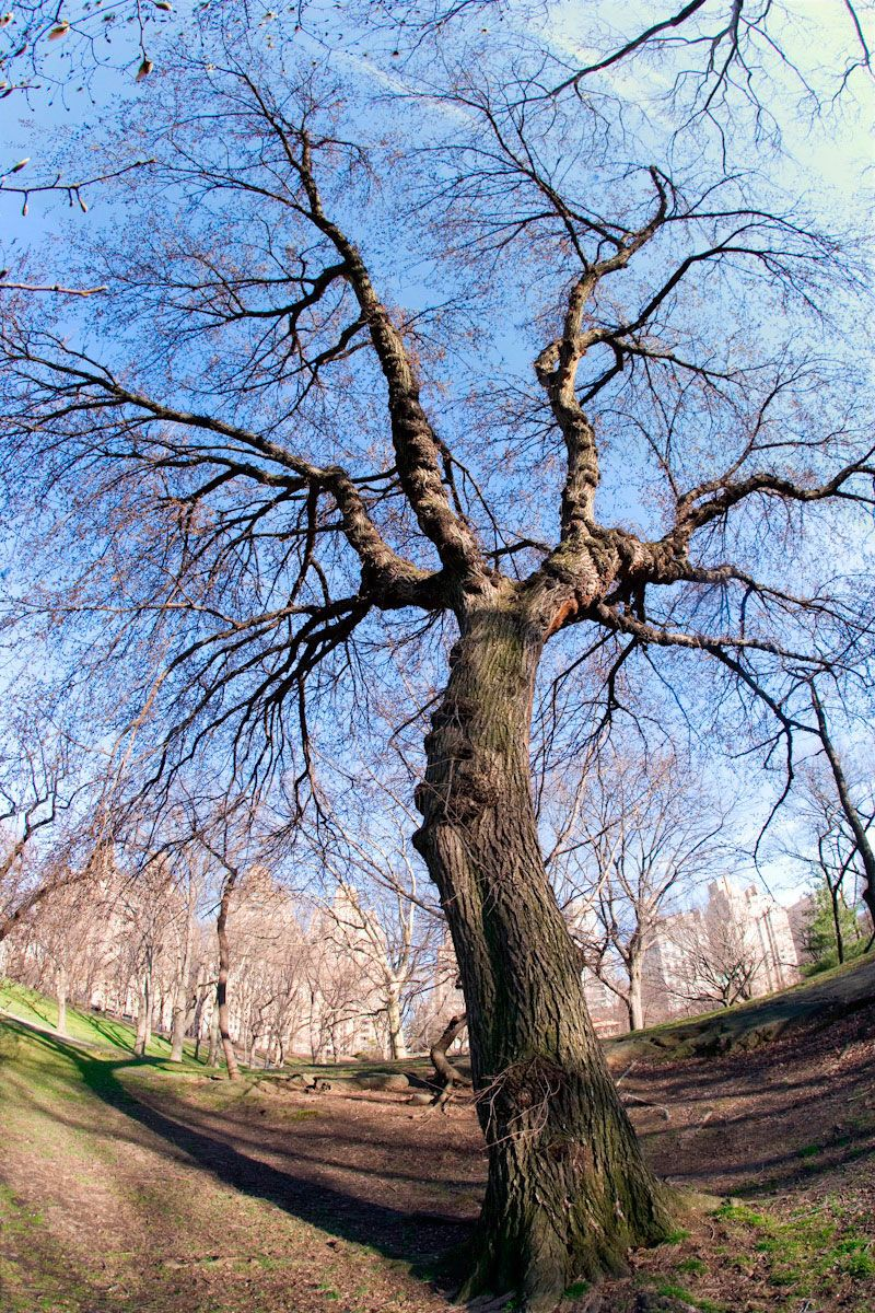 Central Park Tree in Natural