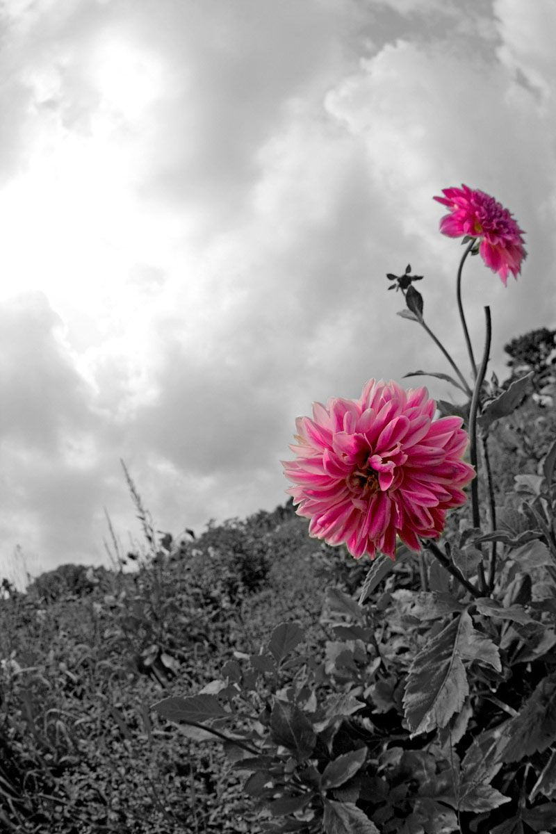 B&W Sky with Pink Dahlias