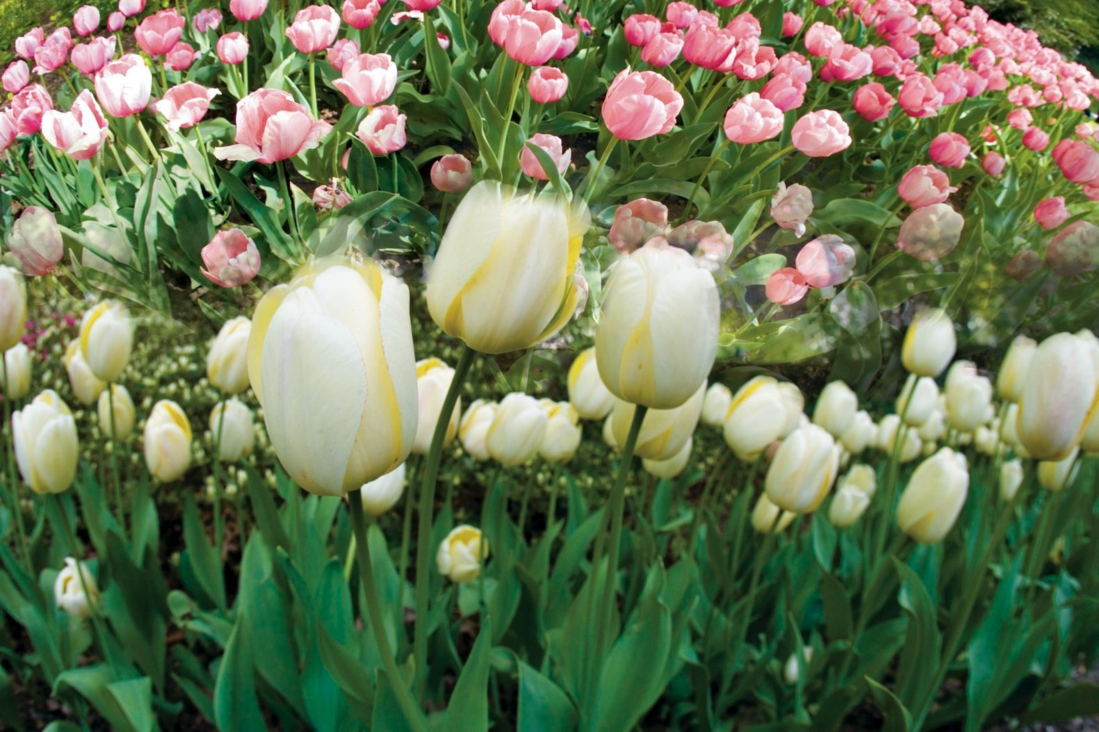 Pink & White Tulip Field