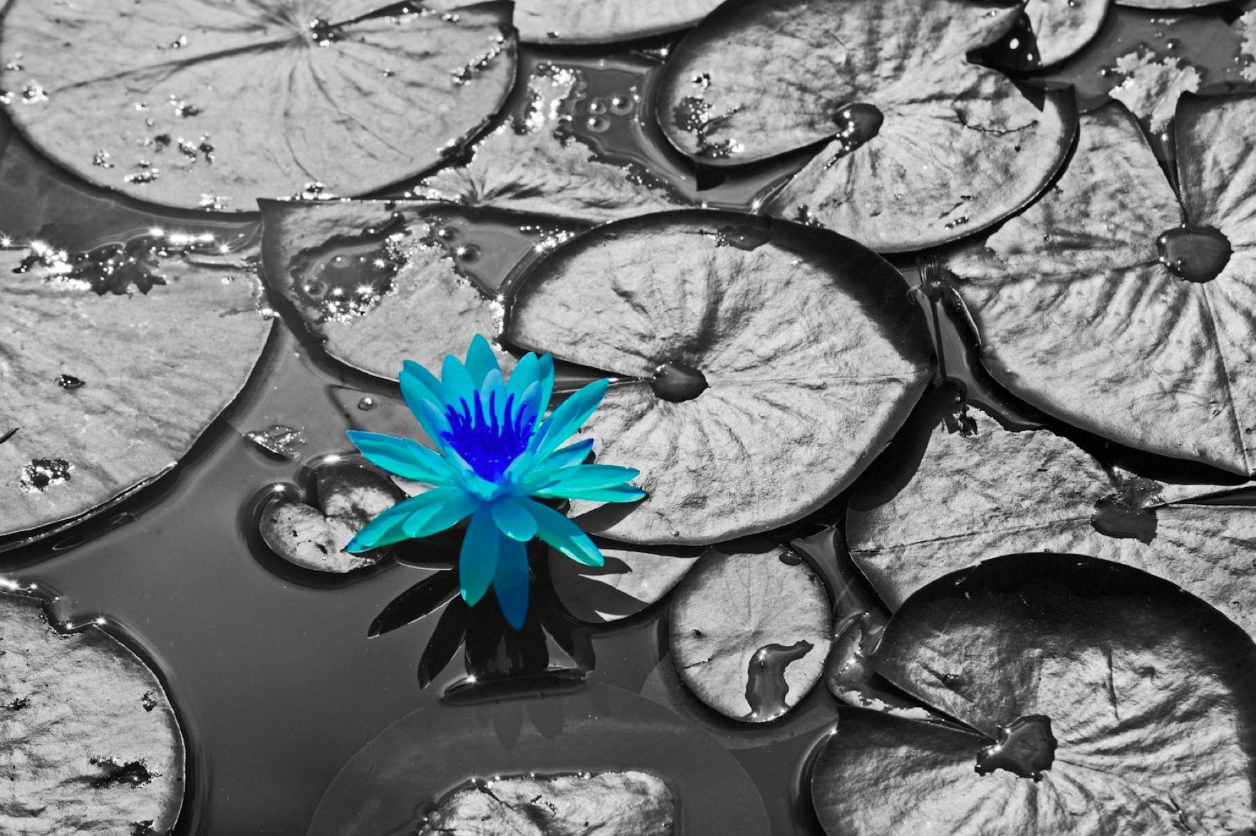 B&W Blue Lily