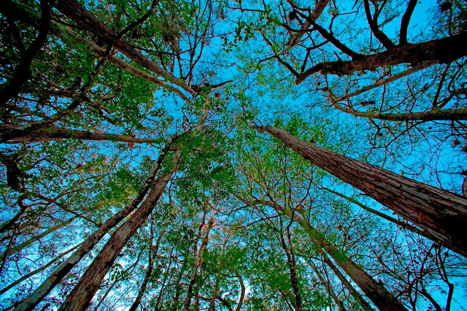 "Trees Meet Sky in Natural 42""x78"""