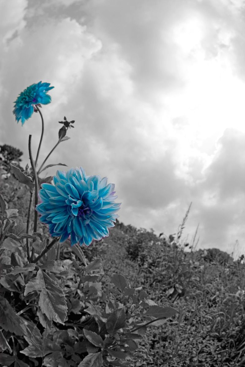 B&W Sky with Blue Dahlias