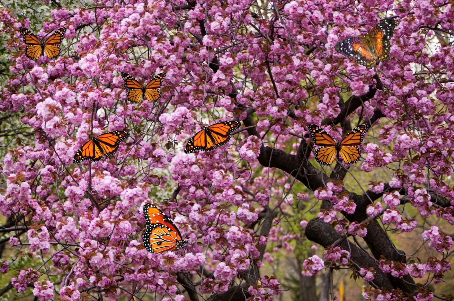 Cherry Blossom with Orange Butterflies
