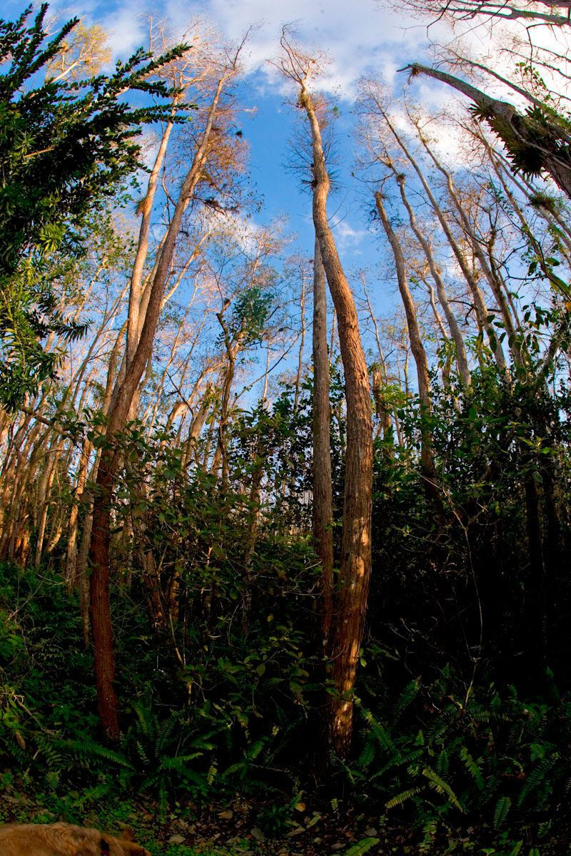 Everglades Trees in Natural