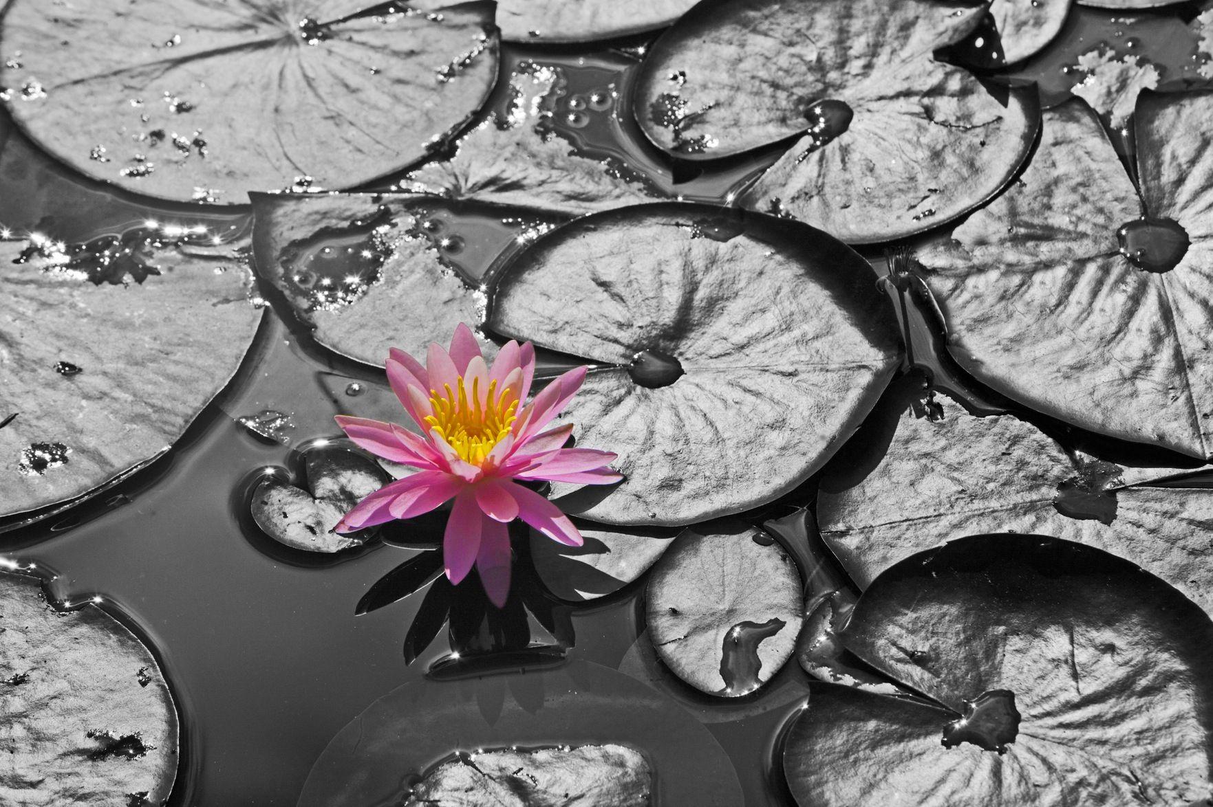 B&W Pink Lily