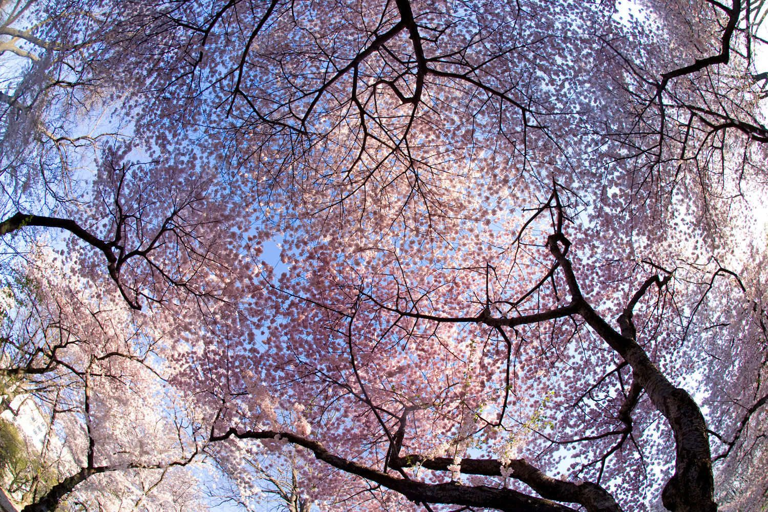Cherry Blossoms in Natural