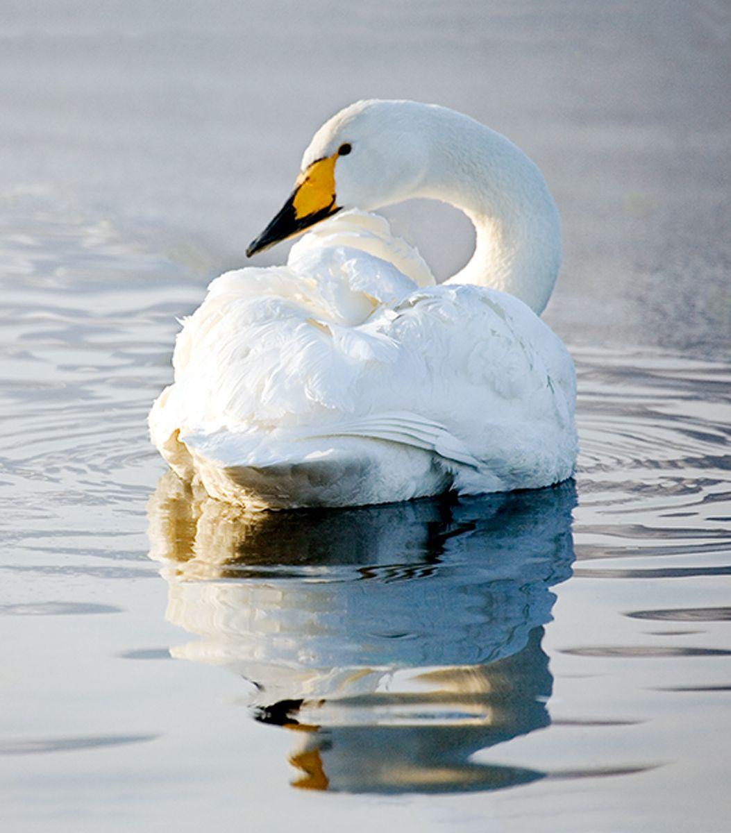Classic Swan-Lake Kussharo, Hokkaido, Japan