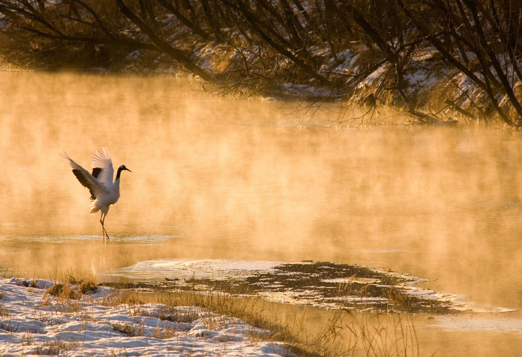Dawn Mist III, Red-Crowned Crane, Hokkaido, Japan