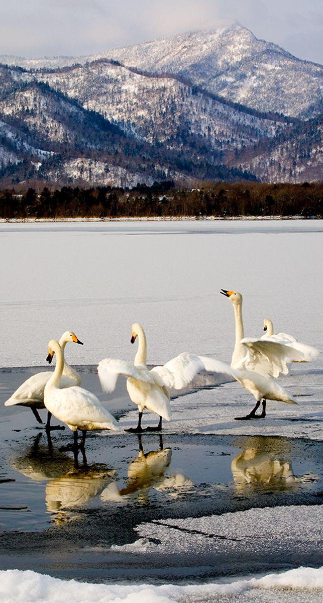 Whooper Swans on Lake Kussharo, Hokkaido, Japan