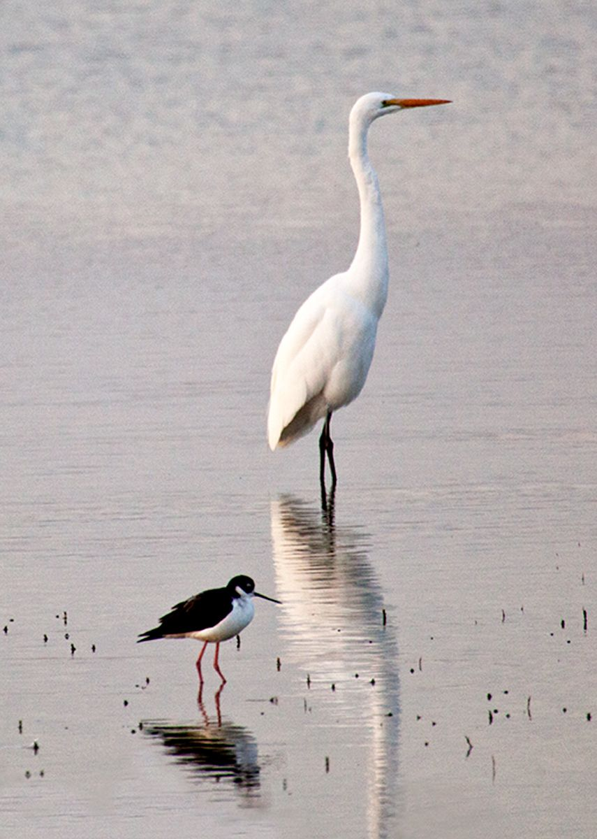 Egret and Stilt, Sacremento NWR, California