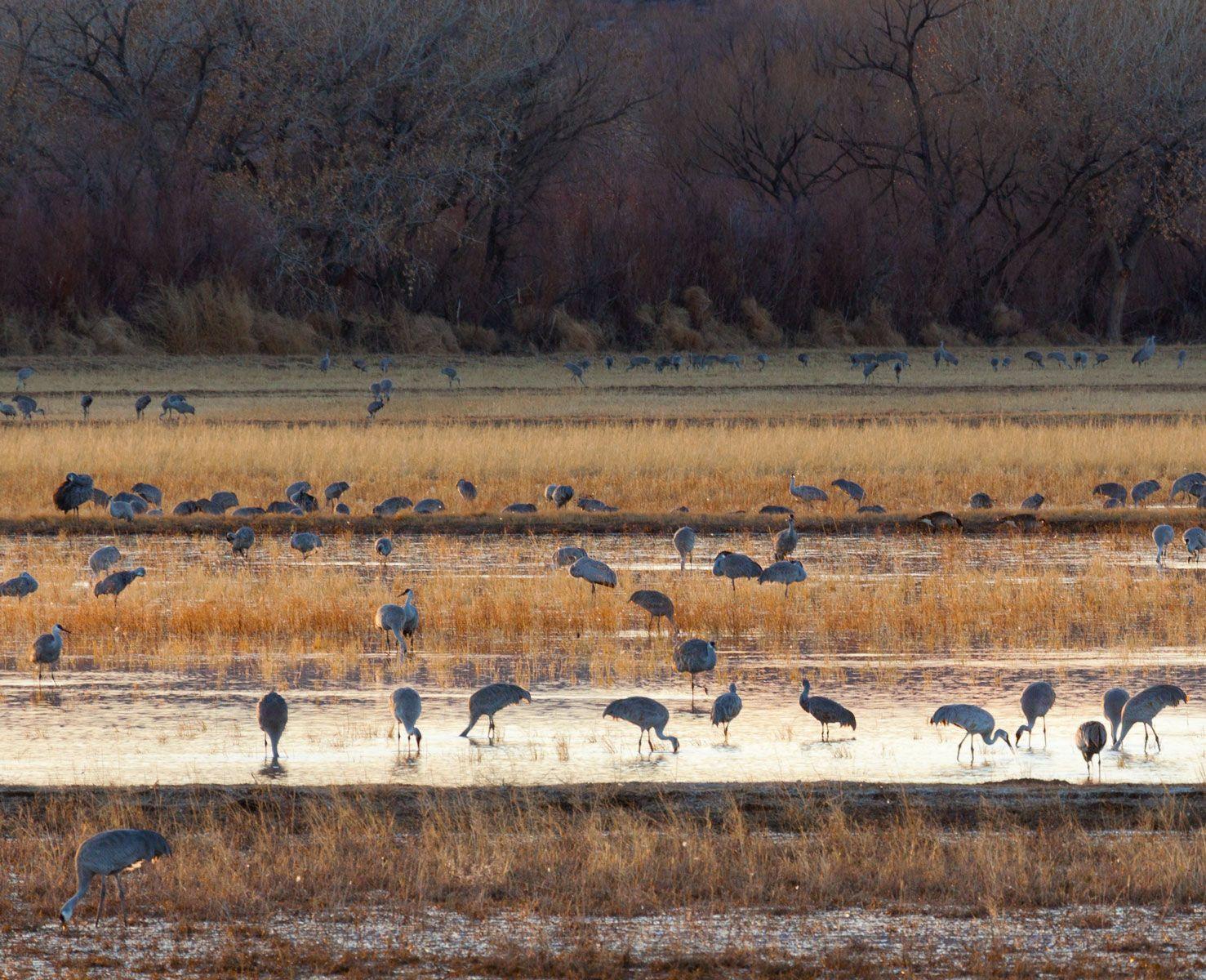 Sandhill Cranes Foraging at Dusk I, Bosque del Apache
