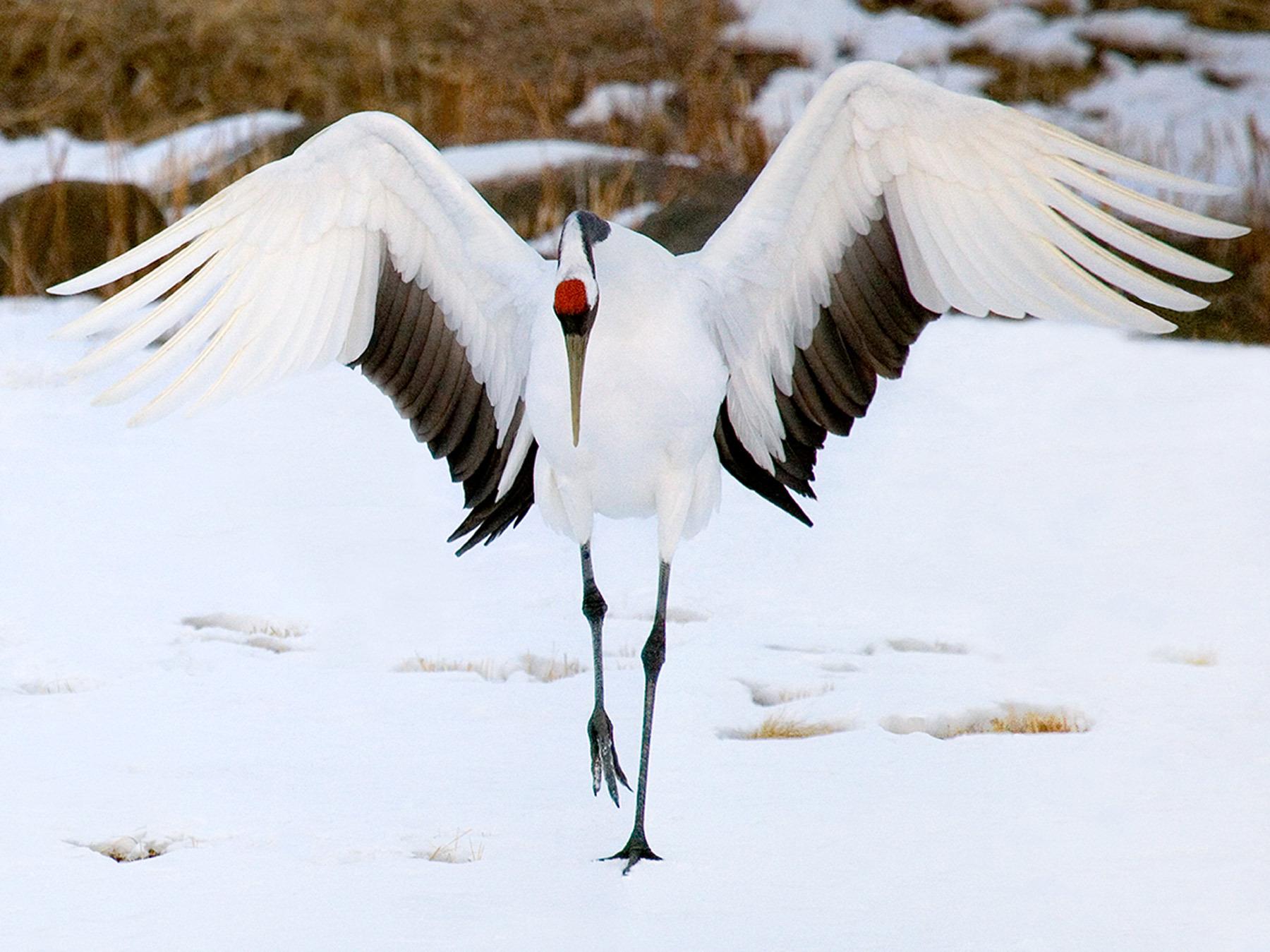 Crane Majesty I, Red-Crowned Crane, Akan Crane Center, Hokkaido,