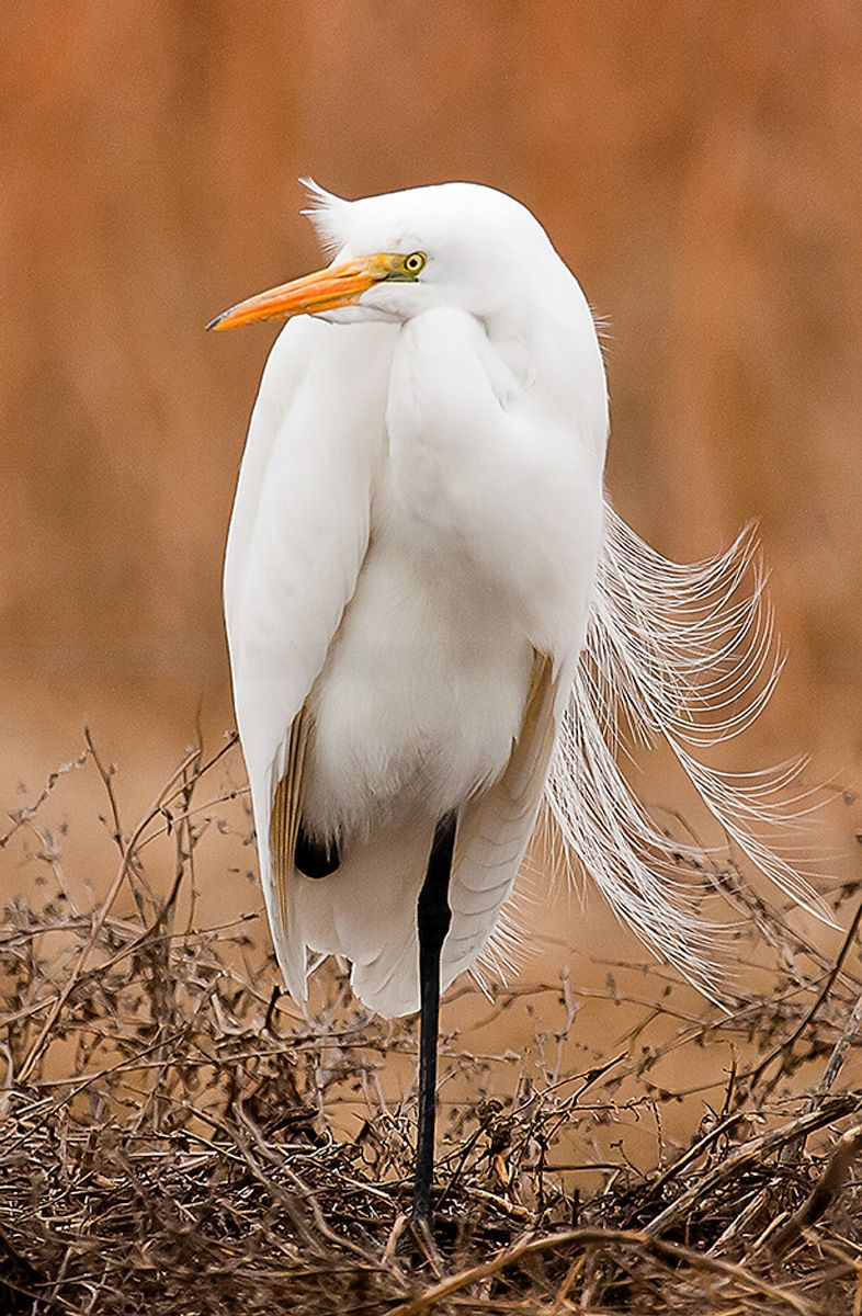 Egret I, Merced NWR, California