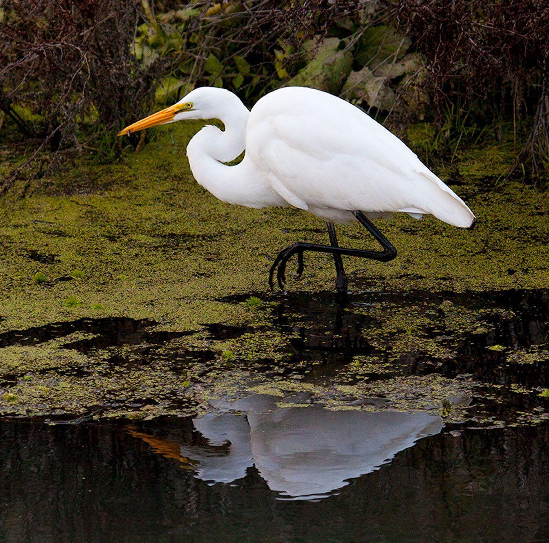 Egret II, California Delta