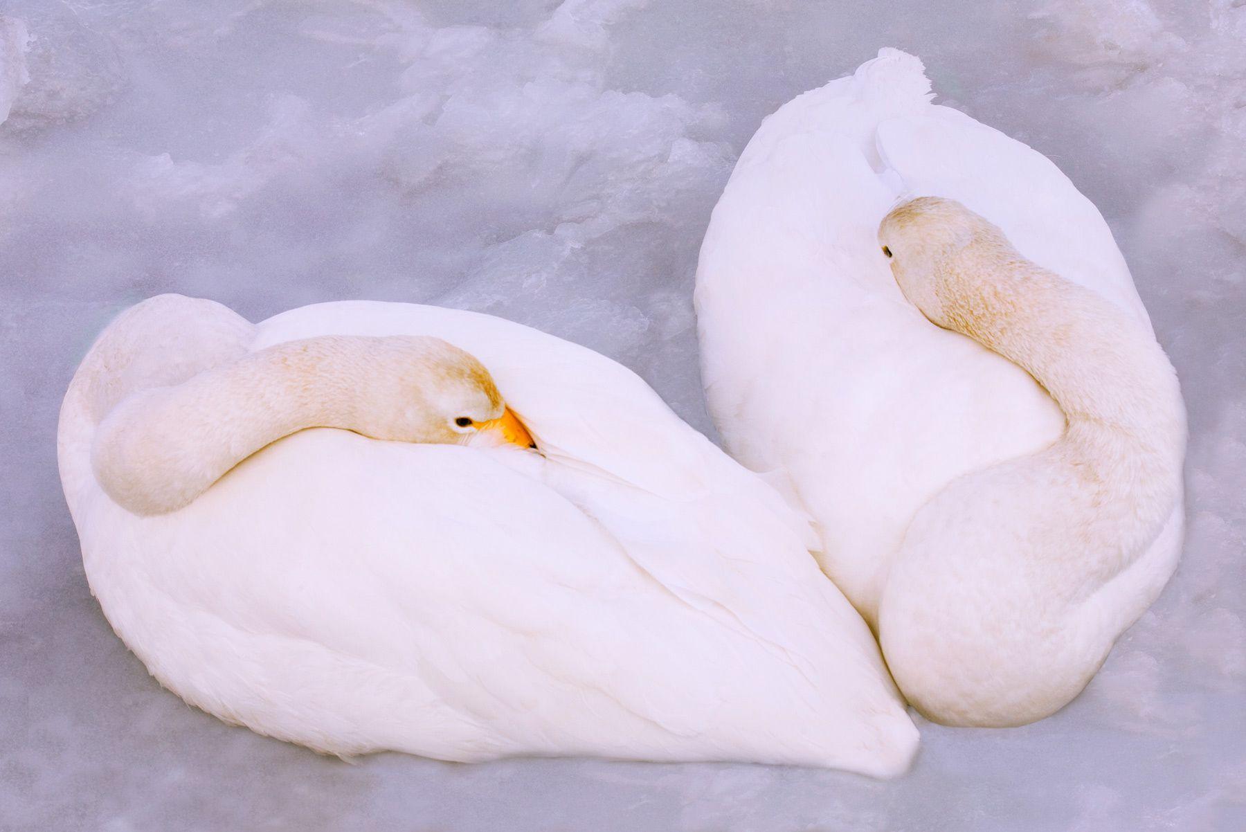 Lovers, Whooper Swans, Natsuki Peninsula, Hokkaido, Japan