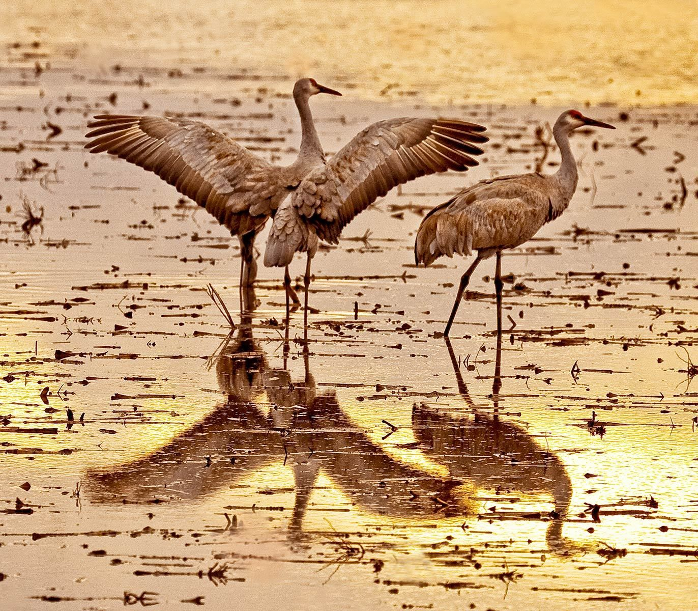 It Was Twilight And Sandhill Cranes >> Sandhill And Whooping Cranes Of North America Susan Carnahan