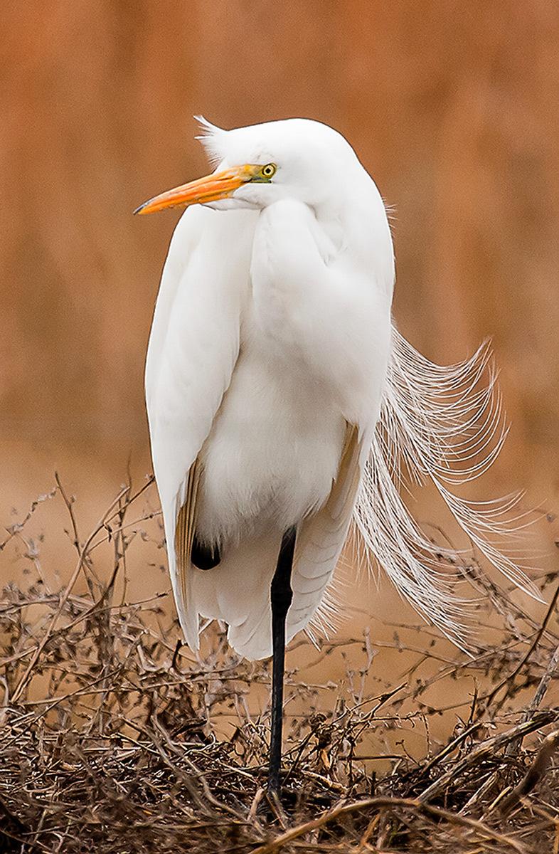 Egret I, Merced NWR, California