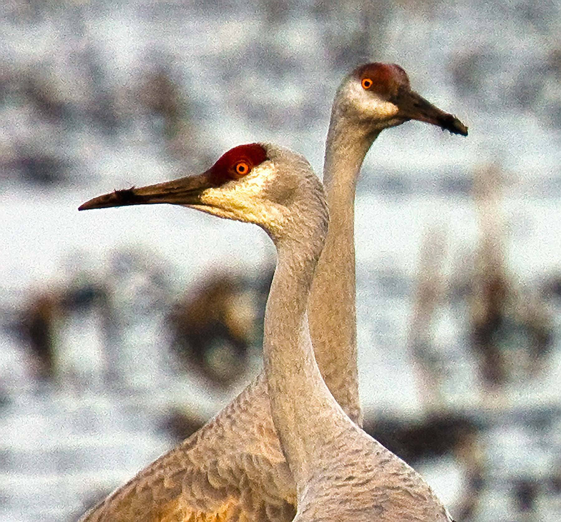 Heads-Up, Sandhill Cranes, Isenberg Reserve, California