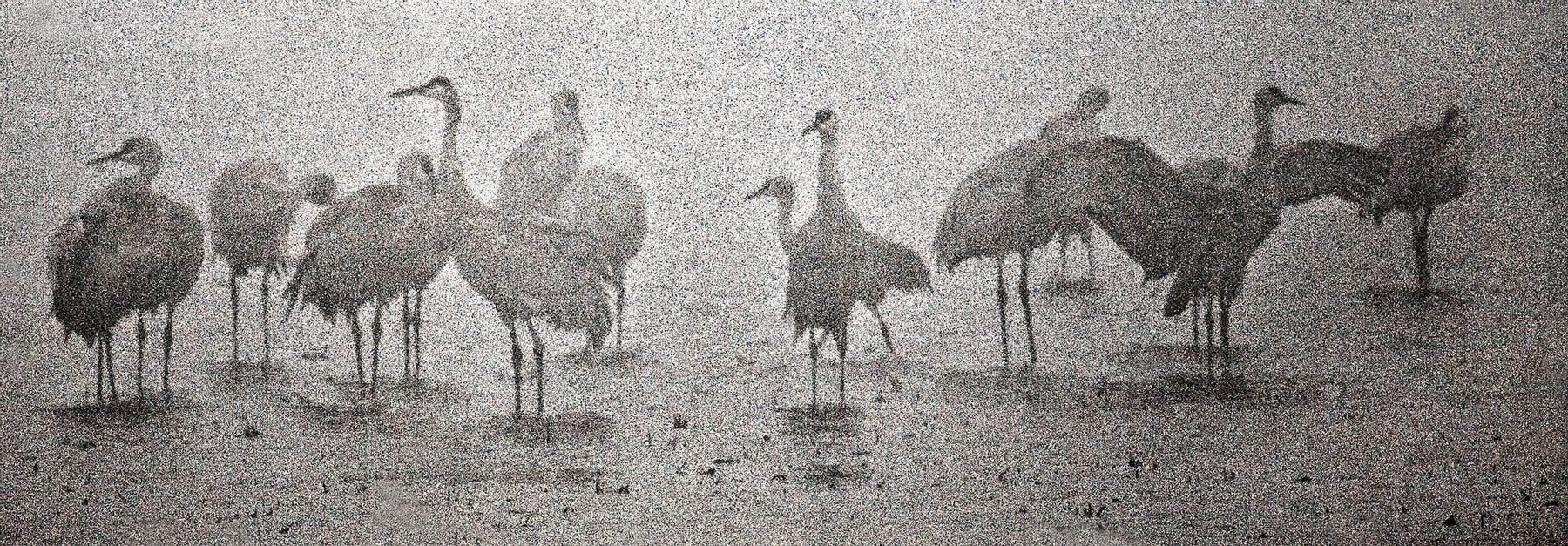 In the Mist II, Sandhill Cranes, Staten Island, California Delta