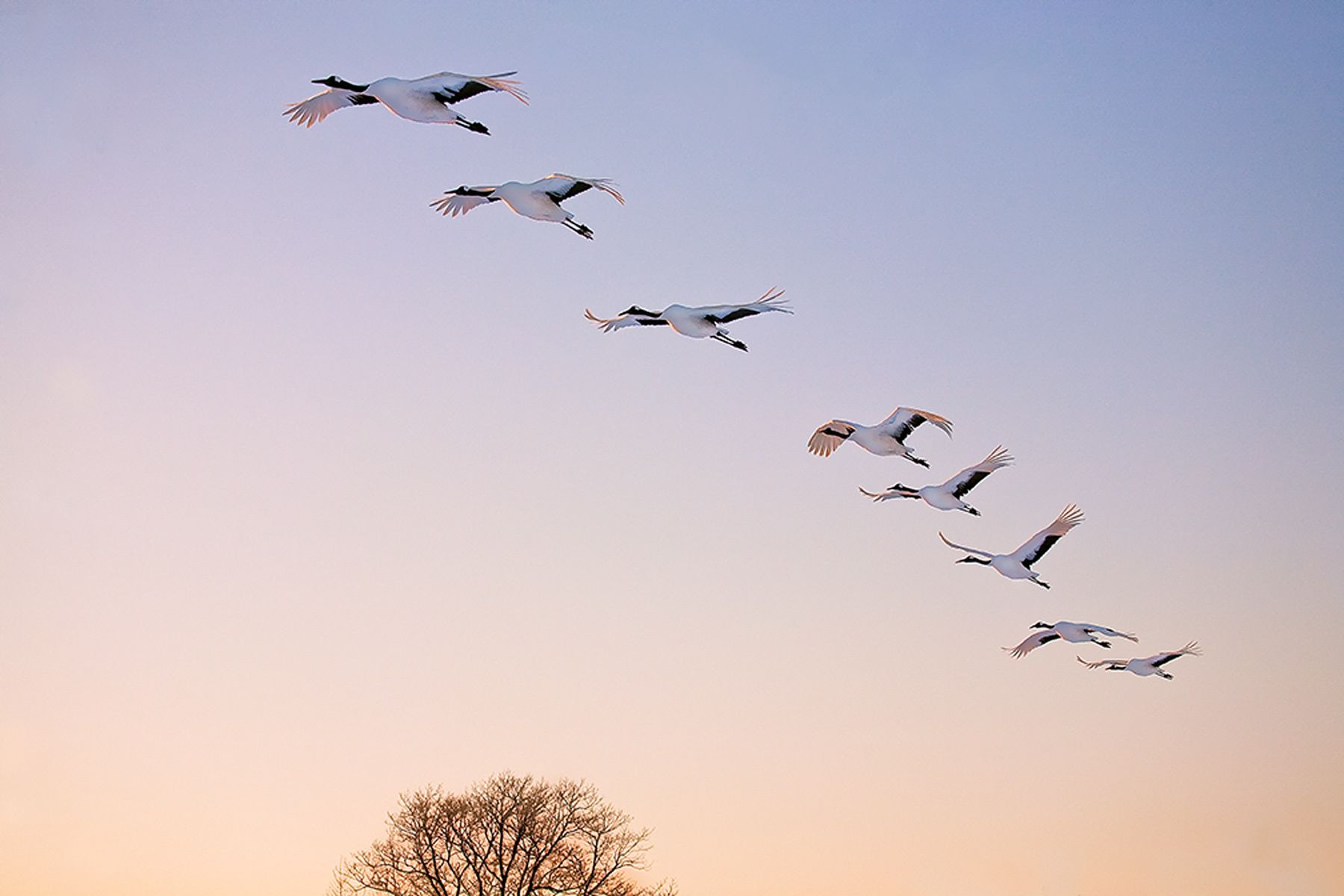 In Formation, Red-crowned Cranes, Hokkaido, Japan